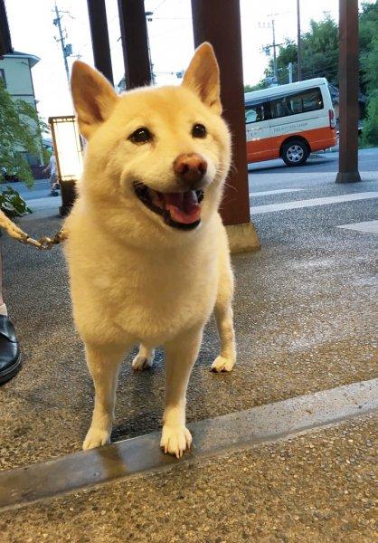 白柴犬 みゆちゃん♡