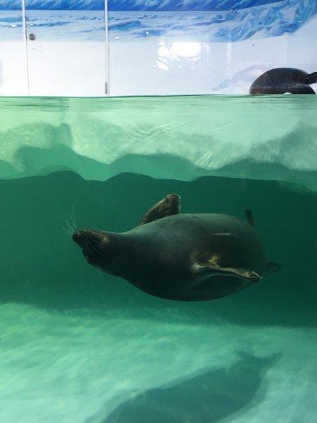 琵琶湖博物館 淡水アザラシ
