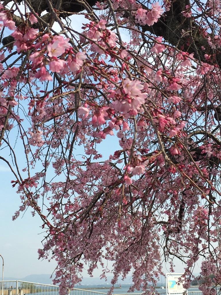 春が来たよ