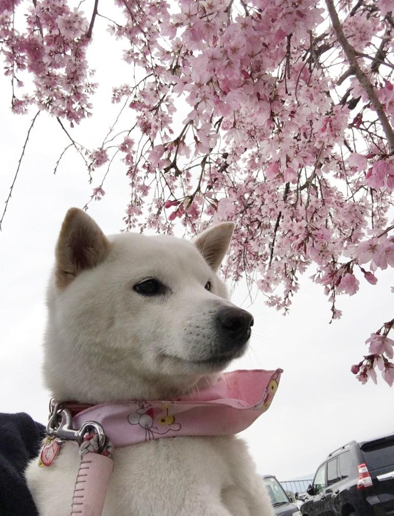 おかあさん、お花見しよ~♪