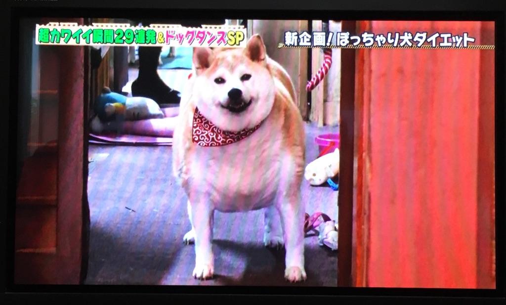 """舞子ちゃん """"ぽっちゃり犬ダイエット企画""""♪"""
